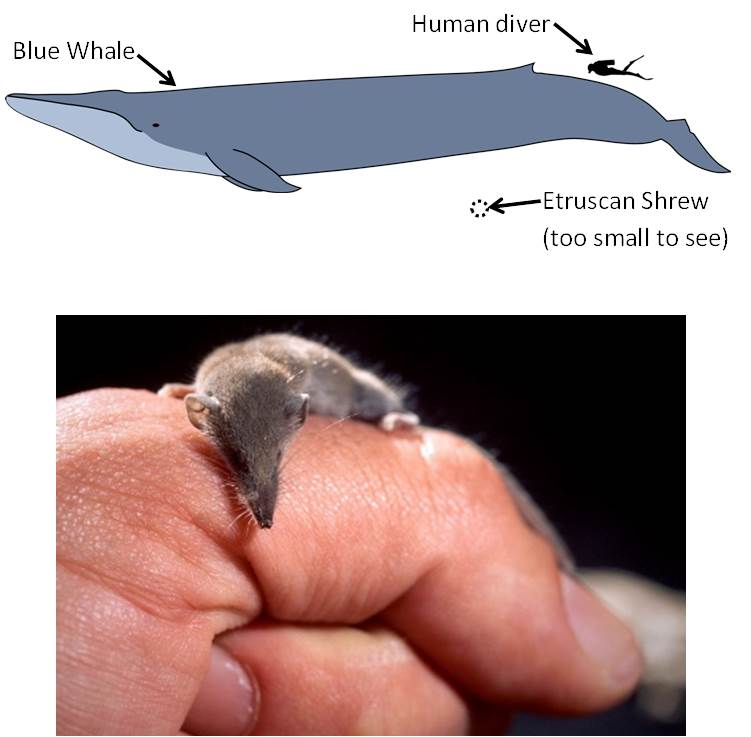 The Etruscan Shrew is much tinier than a human finger and is not even visible in the comparison with a Blue Whale. Top:  Blue whale. Credit: Kurzon. http://commons.wikimedia.org/wiki/File:Blue_whale_size.svg Bottom: Etruscan shrew on a human hand. Credit: Trebol-a. http://commons.wikimedia.org/wiki/File:Suncus_etruscus.jpg