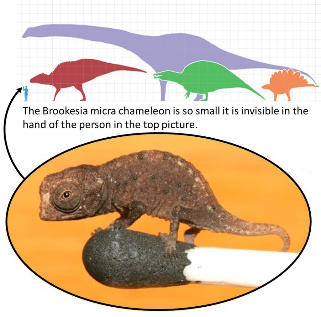 Top: Some of the largest dinosaurs compared to a human. Credit: Matt Martyniuk. License CC BY-SA 3.0. Bottom: Brookesia micra chameleon on the head of a match.  Credit: Frank Glaw, Jörn Köhler, Ted M. Townsend, Miguel Vences, http://journals.plos.org/plosone/article?id=10.1371/journal.pone.0031314, license: CC BY 2.5.